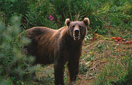 Жители Томской области попросили губернатора спасти жизнь медведя, недавно откусившего руку женщине