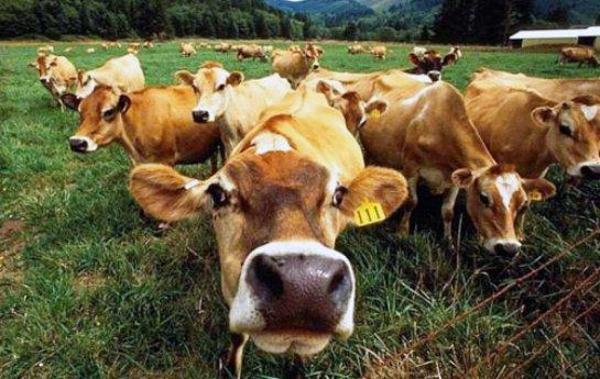 Правительство посчитает скот в личных хозяйствах