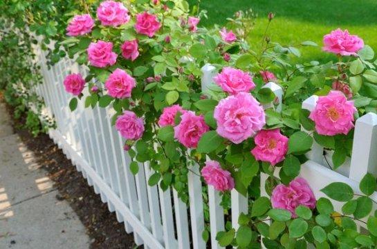 Выращиваем кустовые розы на своем участке