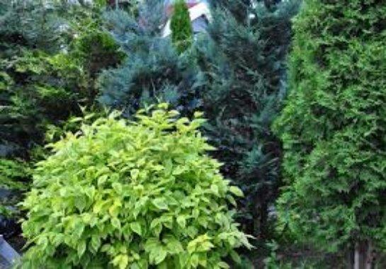 Выращивание хвойных деревьев на даче
