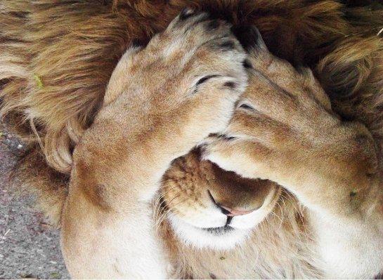 В датском зоопарке собираются делать вскрытие льва на глазах у детей