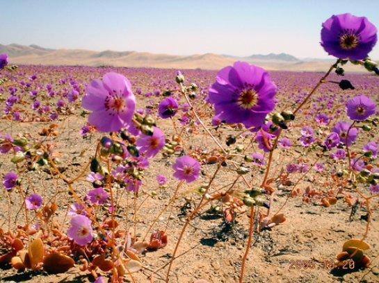 Чилийская пустыня превратилась в рай
