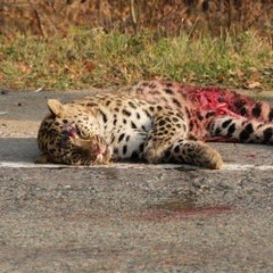 В Приморье погиб в аварии леопард, занесенный в Красную книгу