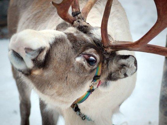 У уральского Деда Мороза украли оленя