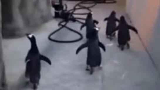 Из датского зоопарка сбежали пингвины