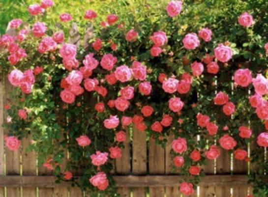 Уход за садовой розой