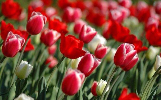Выращивание тюльпанов на приусадебном участке