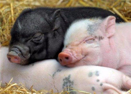 В Британии разрешат выращивать свиней с человеческими органами