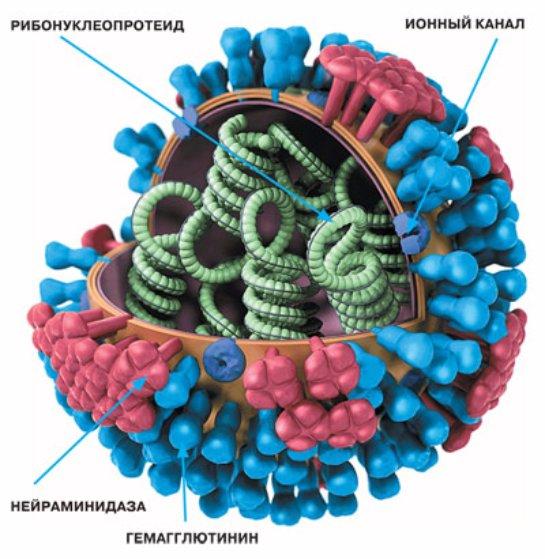 Вирус гриппа продолжает удивлять